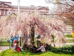 Student Tourists Under Blossom