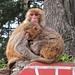Monkeys - Jakhu Temple Shimla DSCF1660