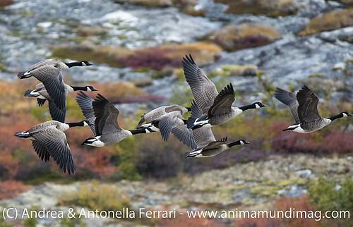 reefwondersdotnet posted a photo:Canada goose Branta canadensis, Nunavik, Northern Quebec, Canada