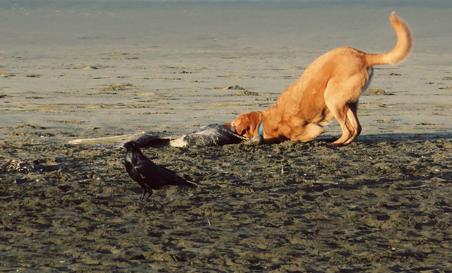 dog, crow, dead pelican; Ocean Beach, San Francisco; November 14, 2014