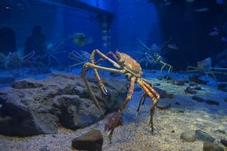 112 Osaka aquarium - Japanse reuzenkrab