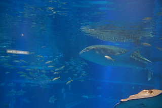 086 Osaka aquarium - walvishaai