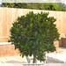 Small photo of Bay Leaf Bush