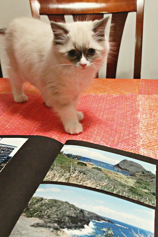 Ragdoll kitten with a photo album