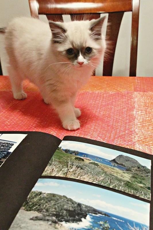 Ragdoll kitten with a photo album