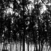 Casuarina forest in Digha by KaushiK™