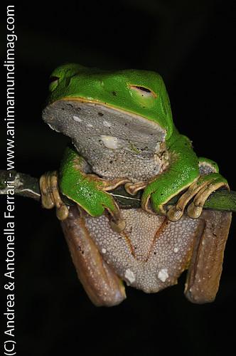 reefwondersdotnet posted a photo:Giant Waxy Monkey Frog Phyllomedusa bicolor, Tambopata Reserve, rio Tambopata, Peru, Amazonia