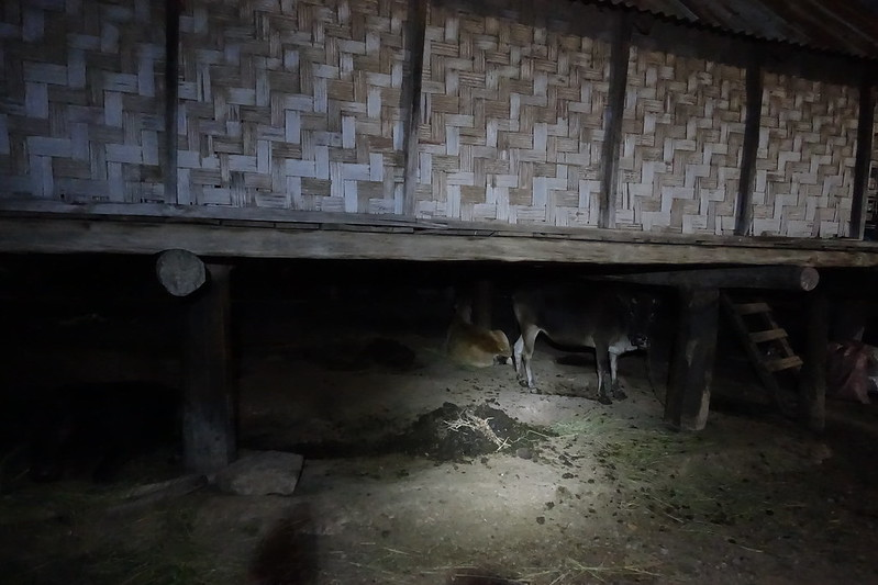 Bò lợn nuôi dưới gầm
