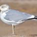 Small photo of American Herring Gull (Larus argentatus smithsonianus)