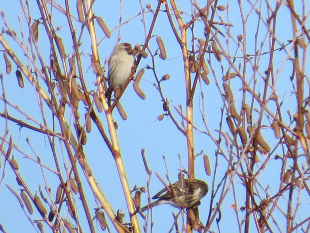 Hoary and Common Redpoll