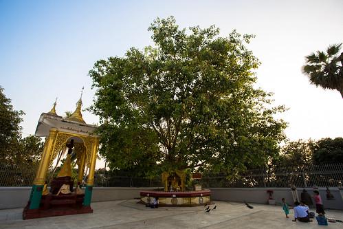 shwedagon-bodhi-tree