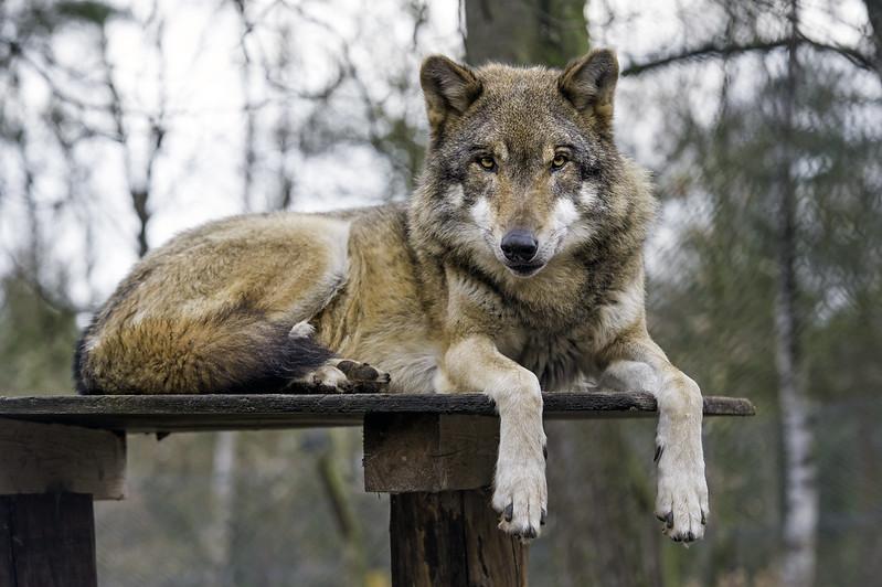 Brown wolf on the platform