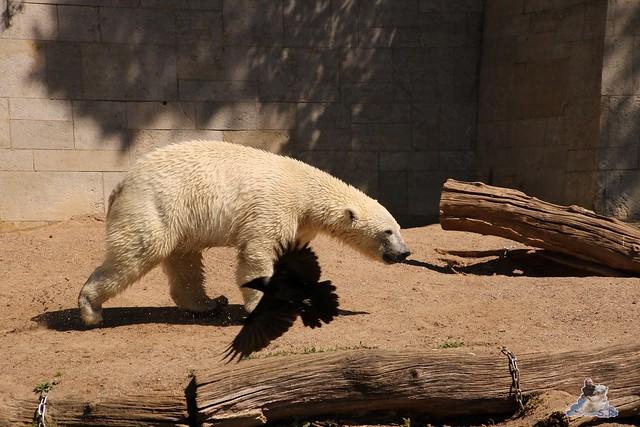 Eisbär Fiete im Zoo Rostock 07.05.2016  0158