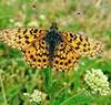 Tiger butterflies