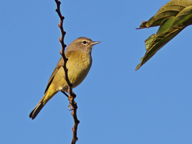 Orange-crowned Warbler 2-20141130