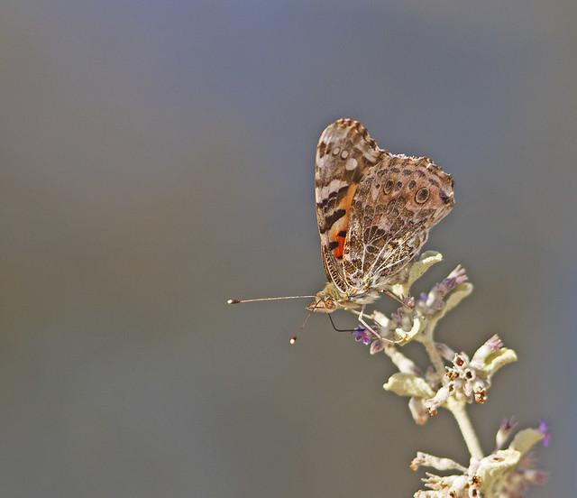 ButterFly TomWells 7D_1605