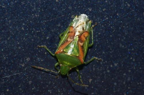 Juniper Shieldbug (Cyphostethus tristriatus)