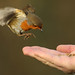Coming in for a mealworm. Explored. by Sandra Standbridge.