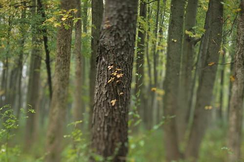 autumn blur tree fall rose forest illinois bokeh tilt poisonivy hickory parklandsfoundation merwinpreserve
