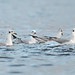 Giovanni_Pari has added a photo to the pool:ebird rarity, high count, SF Although the Bonaparte Gull is not rare in Ottawa in late October or even November, a flock of 60, however, is. This is the largest single flock of Bonnies ever submitted to ebird for the Ottawa region.The birds were actively feeding around sewage outlets in the lagoons. All birds in the flock were in basic (non-breeding) plumage.Embrun, Ontario, Canada