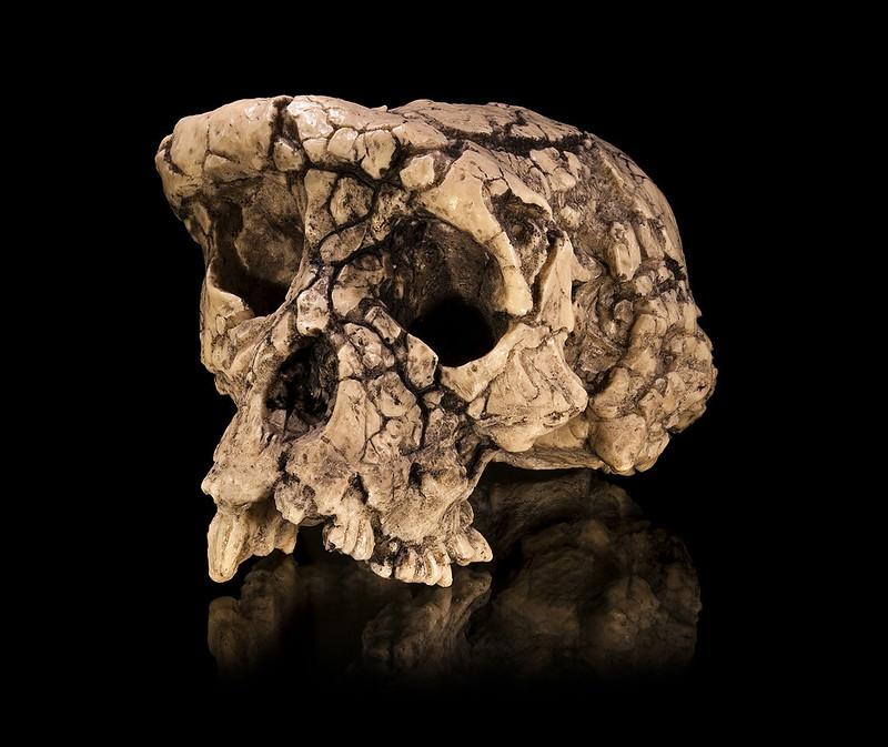 Cast of a Sahelanthropus tchadensis skull
