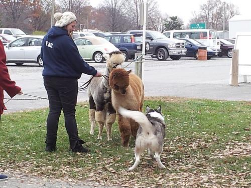 Alpacas & Husky