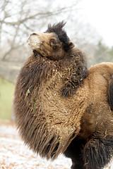 Camel Hairy Neck