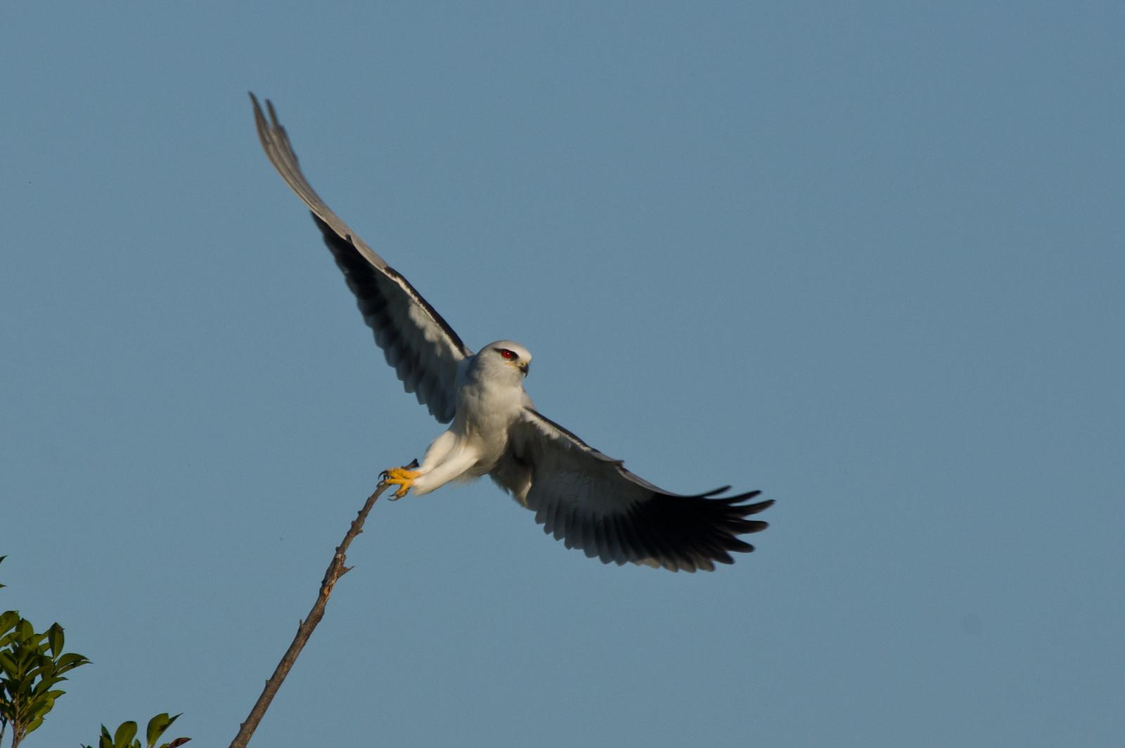 黑翅鳶飛行版
