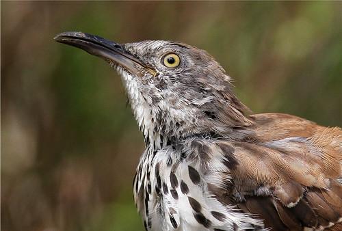 texas aves mission animalia thrasher birdwatcher longbilledthrasher chordata missiontexas thewonderfulworldofbirds birdperfect nationalbutterflycenter taxostomalongirostre