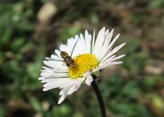 Syrphe sur fleur