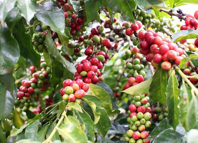 Beautiful cherries at a Kieni farmer
