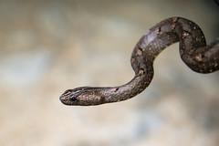 Psammodynastes pulverulentus, common mock viper - Kaeng Krachan national park