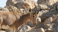 springbok(0.0), argali(0.0), barbary sheep(0.0), bighorn(0.0), pronghorn(0.0), animal(1.0), antelope(1.0), mammal(1.0), horn(1.0), fauna(1.0), mountain goat(1.0), chamois(1.0), gazelle(1.0), wildlife(1.0),