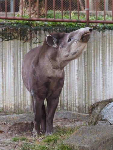 金沢動物園 ブラジルバク
