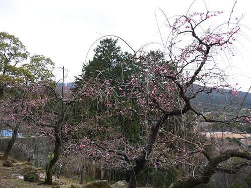花畑園芸公園の梅④