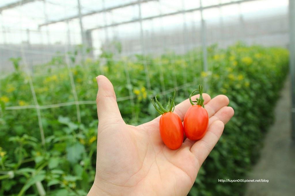 番茄 (32)