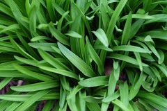 plant, welsh onion, herb, green,