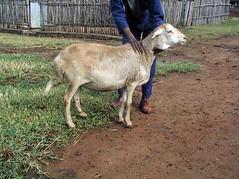 화, 01/20/2015 - 05:24 - Species name: Sheep (photo credit: ILRI).