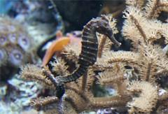 seahorse, animal, marine biology, fauna, underwater, reef, aquarium,