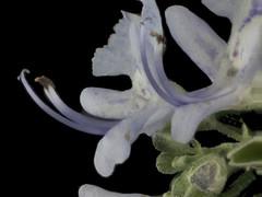 2015-01-03-15.27.58 ZS PMax Rosmarinus officinalis-1