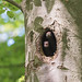 Black woodpecker (Dryocopus martius) Spillkråka