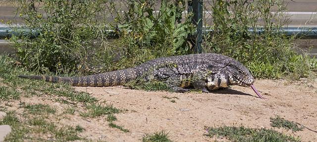 Big Lizard 30-7D2-250416