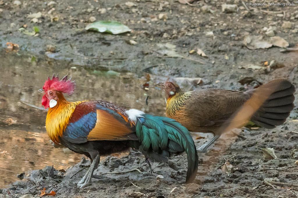 Red Junglefowl (pair)