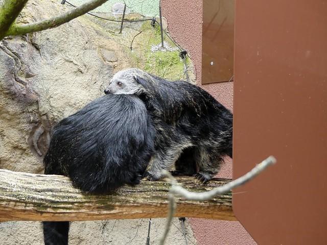 Binturong, Zoo Heidelberg