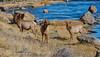 Elk along Madison River
