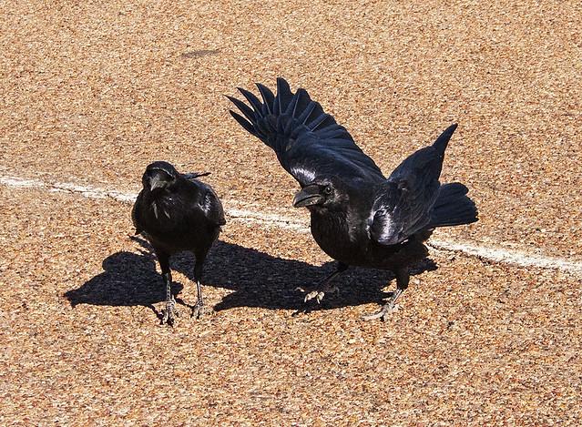 Raven pair_1382