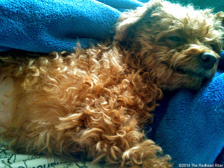 Surgery Is Not Fun For Anyone - Toy Poodle Spayed laying down
