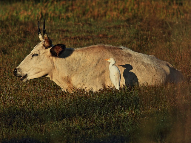 Cattle Egret with cow 02-20141030
