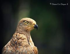 Savanna hawk /Heterospizias meridionalis