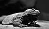 Lizard - monocrome